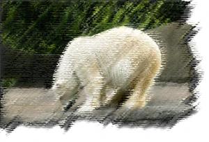 Белый -полярный медведь